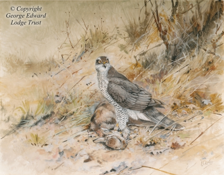 'Helga' a Goshawk on a rabbit (watercolor & tempera)