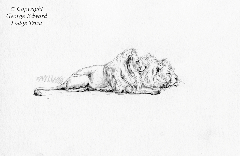 Pen and ink - Lions at London Zoo, 1880s or 90s