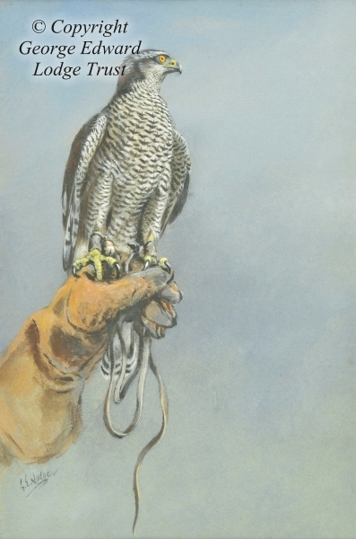 Goshawk on Gauntlet (tempera)