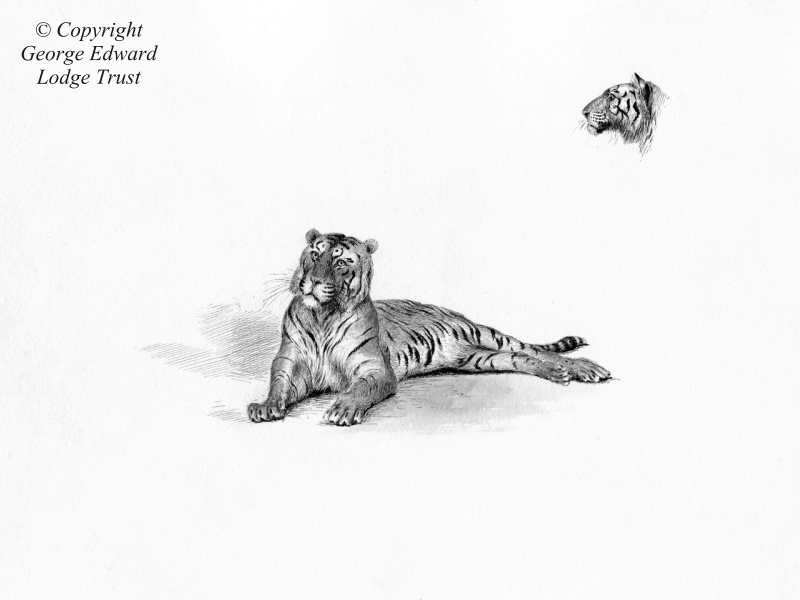 Pen and wash - Tiger at London Zoo, 1880s or 90s