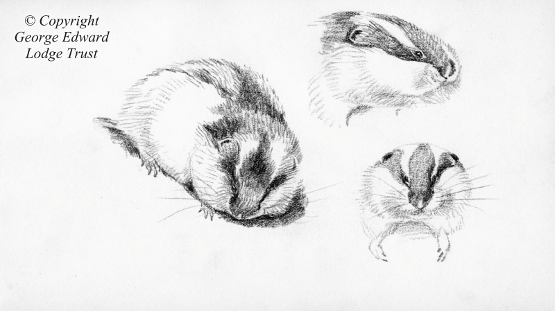 Pencil study - Lemming, Norway, 1899
